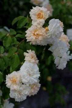 Tea Noisette Rose: Rosa 'Alister Stella Gray' (U.K., 1894)