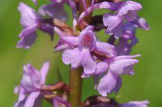 Orchis moucheron, Les Orchis - MonSitePhotos - MonSitePhotos