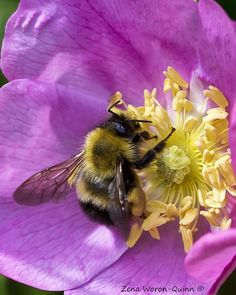 Bees are becoming extinct and we need them for pollination. Help save the beesBees are becoming extinct and we need them for pollination. Help save the bees I Love Bees, Birds And The Bees, Beautiful Bugs, Beautiful Flowers, Buzzy Bee, Bees And Wasps, All Nature, Save The Bees, Bee Happy