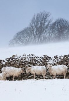 Sheep shelter from a blizzard, Peak District, Derbyshire, England  © Alex Hyde