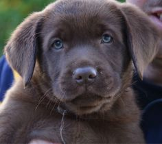 Hello Labrador Puppies, Dogs And Puppies, Labrador Retriever, Black Labs, Look Alike, Puppys, Animals And Pets, Chocolate, Friends