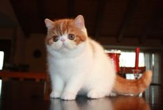 Exotic shorthair kitten.. England. Cute Cats And Dogs, Cats And Kittens, Snoopy Cat, Exotic Shorthair, Balloon Rides, Domestic Cat, Pretty Cats, Baby Cats, Kittens Cutest