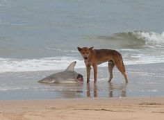 Dingoes eating sharks. | 37 Pictures That Prove Australia Is The Craziest