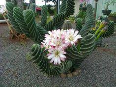 Resultado de imagen de Cereus spiralis