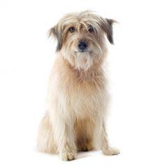 Razze di cani pelo corto taglia media