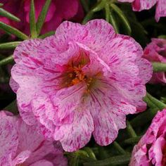 Happy Hour Peppermint portulaca seeds - Garden Seeds - Annual Flower Seeds