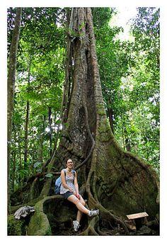 Arbre géant forêt tropical de Basse-Terre en Guadeloupe