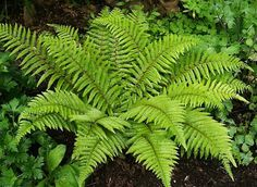 Japanese Tassel Fern (Polystichum polyblepharum) T W. Full to part shade. Likes wet soil. Types Of Fern Plants, Shade Plants, Tassel Fern, Deer Fern, Ferns For Sale, Wood Fern, Autumn Fern, Geranium Vivace, Gardening