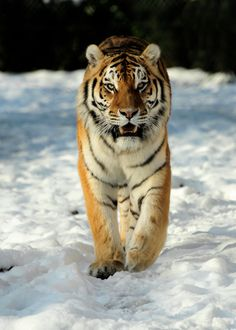 Tiger - Pure Majesty. by quaddie on DeviantArt