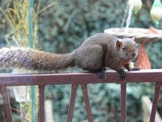 De Aziatische Pallas' eekhoorns bedreigen inheemse rode eekhoorn.