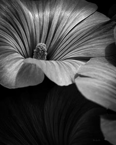 Morning Rose Mallow - The Other One - Original fine art black and white abstract flower photography by Bob Orsillo Copyright(c)Bob Orsillo / www,orsillo.com - All Rights Reserved. Buy original fine art black and white photography at www.boborsillo.com