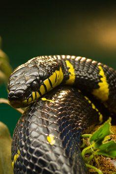 Mangrove snake (by jwkeith)
