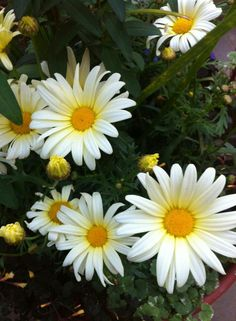 Daisies are such happy flowers :-)