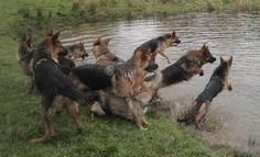 So many swimming German Shepherd Dogs!