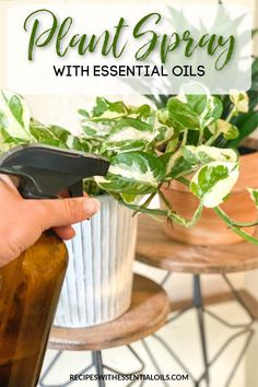 Natural Plant Spray for Indoor & Outdoor Plants - Recipes with Essential Oils Essential Oil Bug Spray, Thieves Essential Oil, Are Essential Oils Safe, Young Living Essential Oils, Plant Bugs, Plant Pests, Fertilizer For Plants, Peppermint Plants, Peppermint Tea