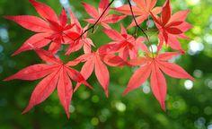 Japanischer Ahorn: Traumhafte Herbstfarben
