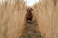 Wait for me!!!!! #cute #doxie #dachshund
