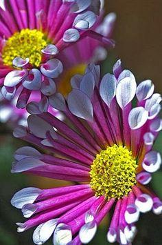 spoon tip daisy poms