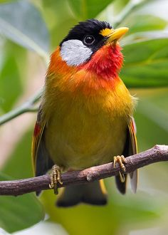 SILVER-EARED MESIA (male)  | Flickr - Photo Sharing!