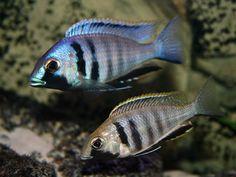 TÄÄ ON JO Placidochromis electra Likoma lihansyöjä Malawi Cichlids, African Cichlids, Cichlid Aquarium, Aquarium Fish, Tropical Aquarium, Tropical Fish, South American Cichlids, Lake Tanganyika, Monster Fishing