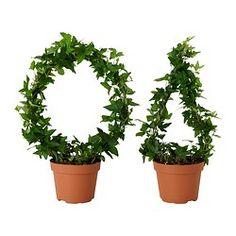 HEDERA HELIX plante en pot, lierre diverses espèces Diamètre du pot: 13 cm Hauteur de la plante: 35 cm