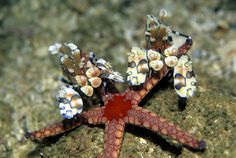 Hymenocera picta, the Harlequin Shrimp, feeds exclusively on the arms of starfish, which grow back and serve as a totally renewable food source.