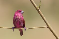 (The pink Scaly-breasted Munia)