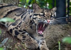 Clouded Leopards have the longest canines for body/head size of all big cats. they also can turn their back ankles 180 degrees and hang from a tree limb by them.