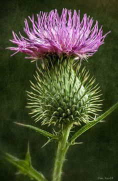 Thistle from a farm in North Carolina.
