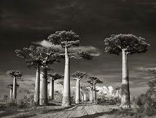 (BM-001) - Beth Moon: Avenue of the Baobabs, 2006