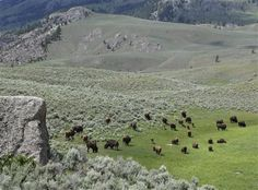 Bison graze inside Yellowstone National Park in Wyoming in this June 19, 2014 file photo. The probability for earthquakes in the region is high, and a big one could trigger a volcano eruption. (AP Photo/Robert Graves)