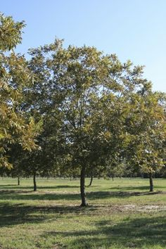 Pruning A Pecan Tree: Tips On Cutting Back Pecan Trees -  Pecan trees are wonderful to have around. There is little more rewarding than harvesting nuts from your own yard. But there's more to growing a pecan tree than just letting nature take its course. Cutting back pecan trees is important too. Click here for more info.