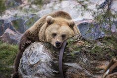 Brown bear ready for hibernation.  Picture by Mari Lehmonen 2014  Helsinki Zoo Archien / Korkeasaari