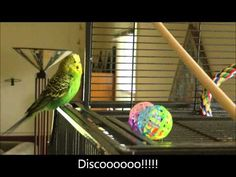"A beat-boxing budgie... now I've seen it all! ""One Phrase Leads to Another"" #domoarigatomrroboto"