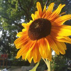 I love sunflowers  #sunflower #summer #flowers #picoftheday