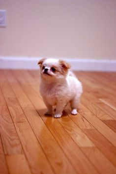 Japanese Chin puppies are really tiny.