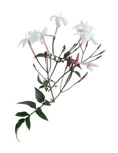 How to Propagate Jasmine From Cuttings