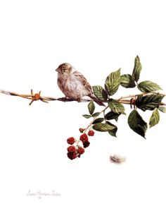 'Rich Pickings' Watercolor on 300gsm Hot Pressed Paper. Painting by Susan Harrison-Tustain. This young house sparrow landed was tempted by the ripening wild blackberries growing on the rusty barbed wire. As she landed a feather wafted to the ground and she contemplated how she would reach the beckoning berries just out of reach. http:www.susanart.com