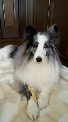 Serious Sheltie