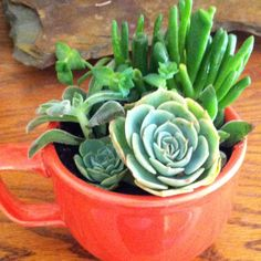 Only minor Gardening skills required. Succulents in tea cup!