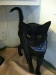 Dexter is an adoptable Domestic Short Hair-Black Cat in Muncie, IN. Dexter is a sweet, gentle young man who loves to spend his days sunbathing in the kitten room or listening to David the senior Siame...
