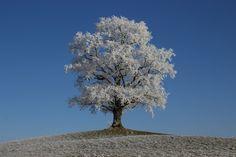 Raureif, Winter, Baum, Frost, Natur, Winterlich, Sonne