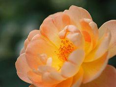 Rose, The Lark Ascending (Ausursula) , バラ, ザ ラーク アセンディング,