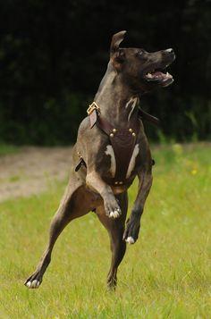Name: Lady (female)*Breed: American Staffordshire Terriër x Hazewind Hond*Owner: Nikki*www.Staffs-Exclusives.com