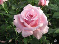 """Memorial Day Rose is arguably the front runner for fragrance. As AARS puts it, """"experts say one bloom perfumes almost an entire room."""" ♡"""