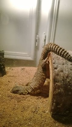 My uromastyx use to sleep like that all of the time!