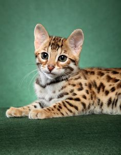 F1 bengal kitten, photo by Helmi Flick