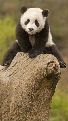 Panda bear. love the look on his face~Too funny;~)