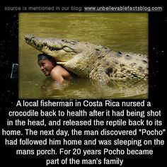 "A local fisherman in Costa Rica nursed a crocodile back to health after it had being shot in the head, and released the reptile back to its home. The next day, the man discovered ""Pocho"" had followed him home and was sleeping on the mans porch. For..."