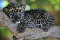 "Cute Baby Leopard!    www.jaxsprats.com ""If it's unique, we have it"" Jaxsprat's Unique Collectibles"